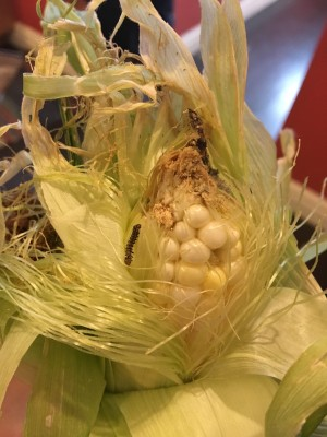 Reader Discovers Caterpillars in Corn