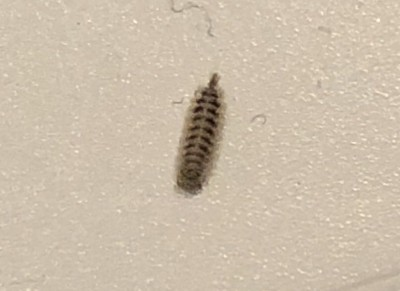 Tiny Worms Sticking to Walls and Ceilings are Carpet Beetle Larvae