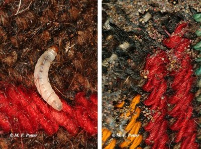 Larva Found on Blanket is a Webbing Clothes Moth Larva