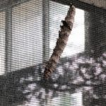 Caterpillar on Window Screen in Illinois is an Ilia Underwing Moth Caterpillar