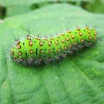 Green Worm with Prickles is an Emperor Moth Caterpillar