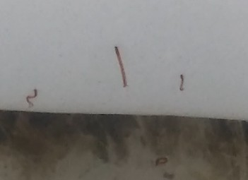 Red Worms in Man's Toilet are Midge Fly Larvae