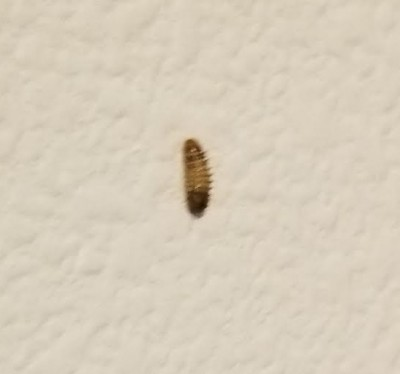 Several Carpet Beetle Larvae Found by Woman