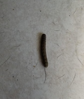 Black Worms Found on Kitchen Floor are Cutworms