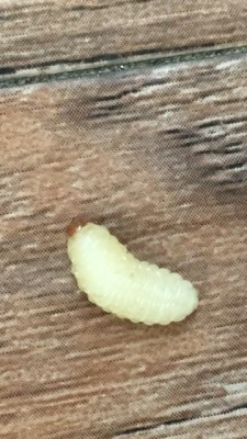 White Larvae Falling From the Ceiling May Be Root Weevil Larvae