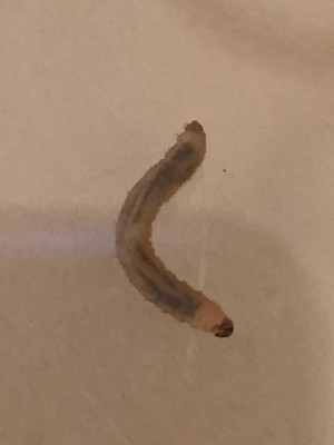 White Larvae in Virginia Garden Composting Worms or Pests?