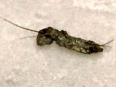 Oddly-Shaped Pupae Found in Black Mold and Drains in Texas