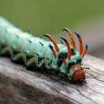 The Hickory Horned Devil: North America's Largest Caterpillar Species