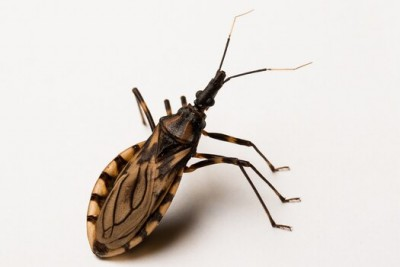 What is the Kissing Bug, and Why People Rightly Fear It