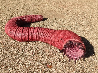 The Mongolian Death Worm: Fact or Fiction?