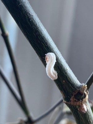 White Worm-like Creatures on Japanese Maple Tree are Pulvinaria Scale Insects