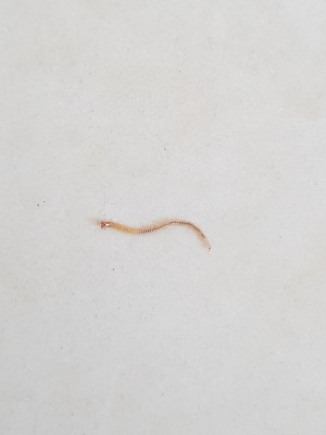 Red Worm with Hooks Found Near Dog