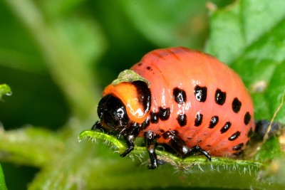 Colorado Potato Beetle Larvae and What To Do About Them