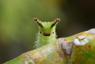 The Japanese Emperor Caterpillar and Why it has Taken the Internet by Storm