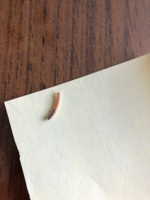 Pink Worms with Brown Tails in Palm Plant are Millipedes