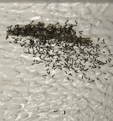 Bug Spray Will Not Be Necessary To Get Rid of this Armyworm Cluster