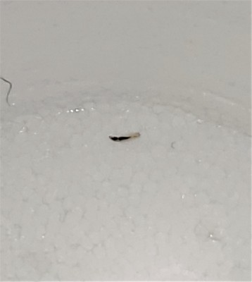See-through Worms Found on Bed are Flea Larvae