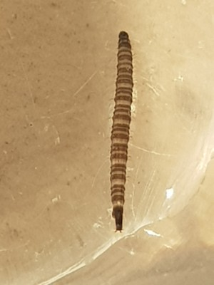 Striped Brown Worm in Toilet is a Drain Fly Larva