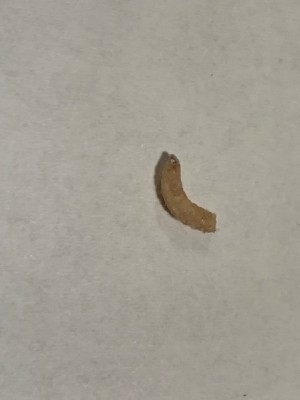 Off-White Larvae Roaming Kitchen are Pantry Moth Larvae