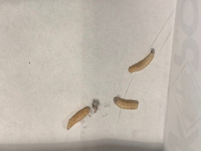 Man Runs Out of Ways to Try to Eliminate Infestation of Indianmeal Moth Larvae