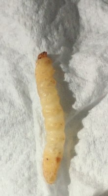 Man Finds Clear White Worms in Stool and Questions Their Relation to Blood Clotting