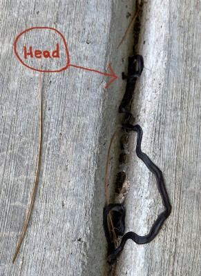Two Hammerhead Flatworms Discovered on Patio in Oak Ridge, Tennessee