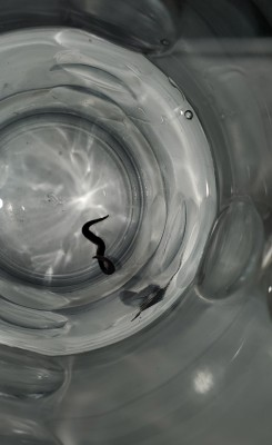 Flat, Black Worm Found in Toilet is a New Guinea Flatworm
