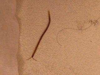 Red Organism with Antennae Found in Shower Drain is a Centipede