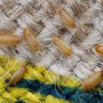 GUEST ARTICLE: Carpet Beetles & Carpet Beetle Larva