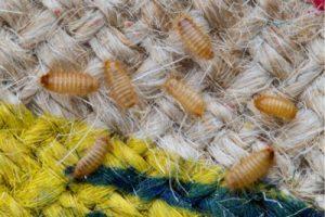 carpet beetle larva larvae