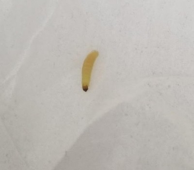 Semi-transparent, Off-white Worm is Either a Pantry Moth Larva or Webbing Clothes Moth Larva