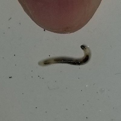 Tiny Clear Worm in Sink is a Flea Larva