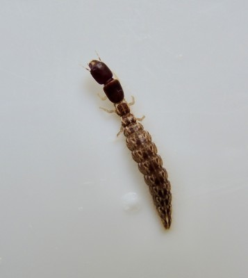 Speckled-Brown Bug with Pincers is Either an Earwig or Beetle Larva