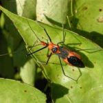 Deep Orange Worms with Black Legs on Passion Vine are Milkweed Assassin Bugs