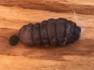 Segmented, Black Worm-like Creature is a Black Soldier Fly Larva