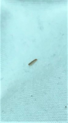 Small Gray Bug Found Inside Vehicle is Some Kind of Caterpillar/Larva