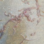 Reddish-pink Worms Found in Pool are Either Earthworms or Tubifex Worms