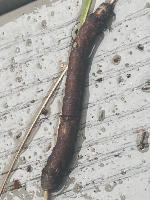 A Brief Overview of Stick Caterpillars