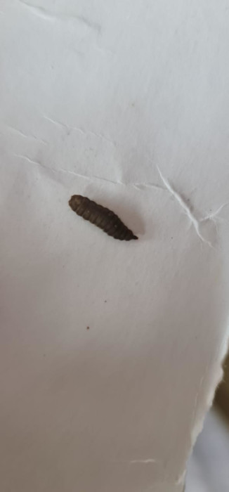 Segmented, Black Worm is a Black Soldier Fly Larva