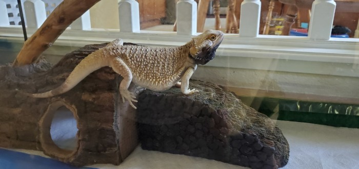 Dead Worms Found in Bearded Dragon's Waste