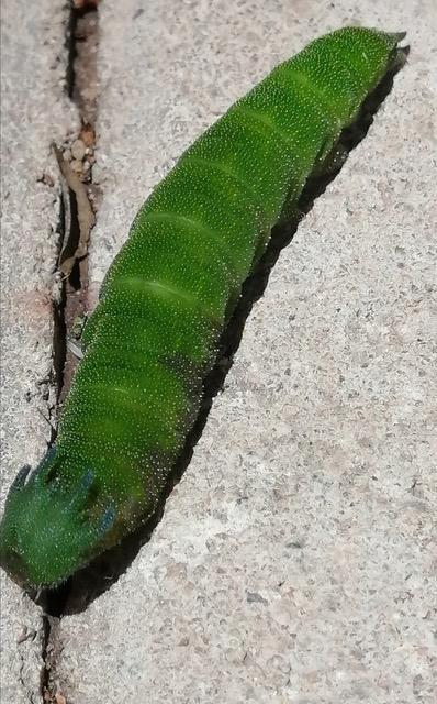 Bright Green, Segmented Creature is a Dragonhead Caterpillar