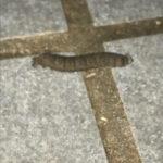 Brown, Segmented Creature Found Near Cat Bowl is a Cutworm