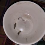 Clear Worms with Dark Insides Found on Bedding are Likely Flea Larvae
